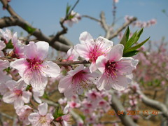 Peach Blossoms Up Close