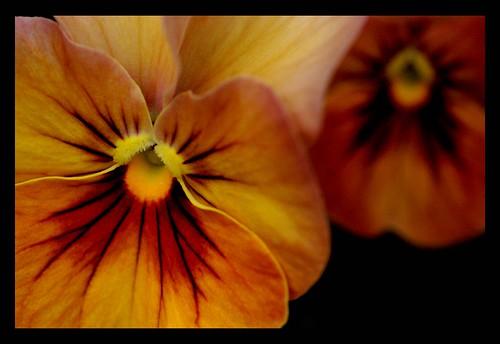 Viola × wittrockiana / ビオラ
