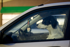 Dog Driver : Project365 : Photo 95