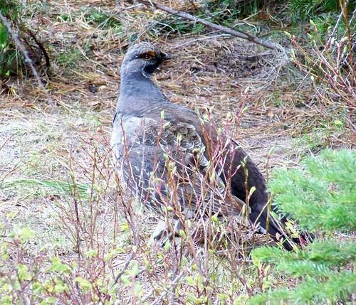 Blue Grouse hen