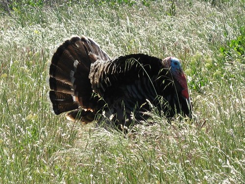 Wild Turkey, Calero County Park