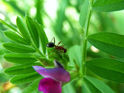 sweet pea ant