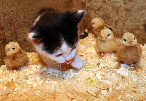 Day 149 - Kitten and chicks