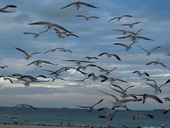 Seagull Attack!