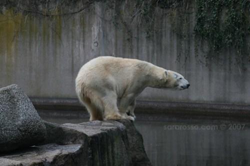 Polar Bear in Berlin Zoo