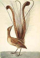 Ave lira - Lyrebird