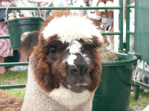 sweet alpaca face 2
