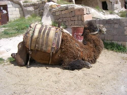 Hydar the Camel