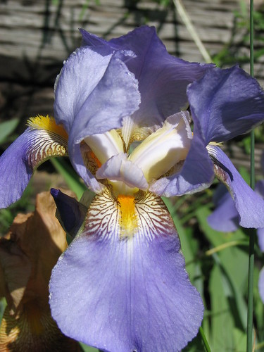 Close up Purple Iris