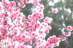 Light filled sweet cheery cherry tree blossoms...