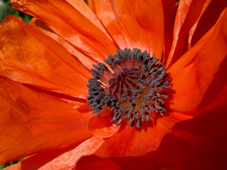 Poppy Closeup