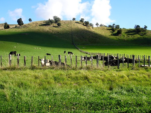 Rolling hillsides, Cows and Sheep