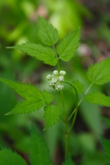 White Baneberry May 21