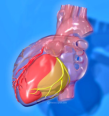 Heart coronary arteries