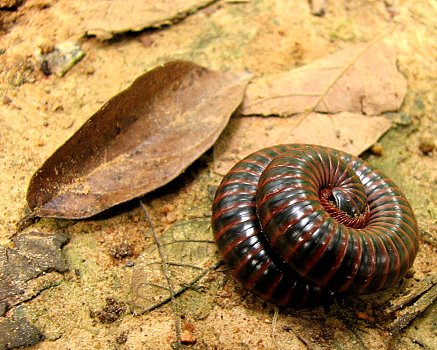 Curled millipede lalbagh 051007