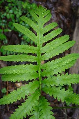 Sensitive Fern - May 17