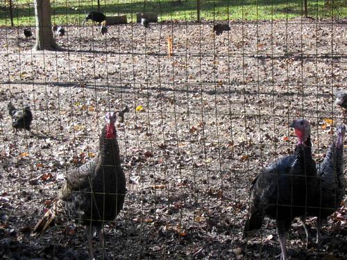Thankful turkeys
