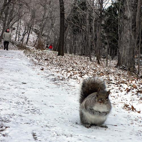 écureuil gris du parc Mont Royal