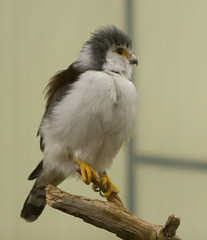 "IMG_8088: African Pygmy Falcon • <a style=""font-size:0.8em;"" href=""http://www.flickr.com/photos/54494252@N00/73824082/"" target=""_blank"">View on Flickr</a>"