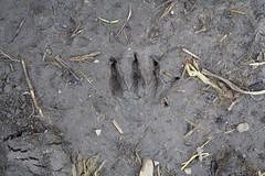 Mink Footprint Perhaps