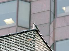 Peregrine Falcon - Probably Hercules