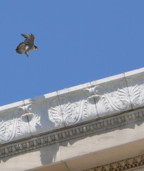 Peregrine Falcon - Museum Female 2