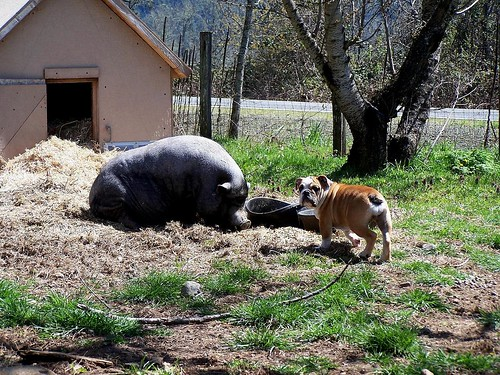 A potbelly pig is better than a dog
