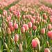 Tulipanes Sucesos Extraordinarios