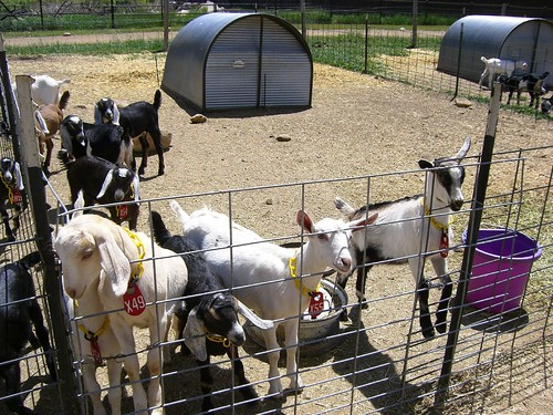 Baby Goats! Haystack Mountain Goat Dairy