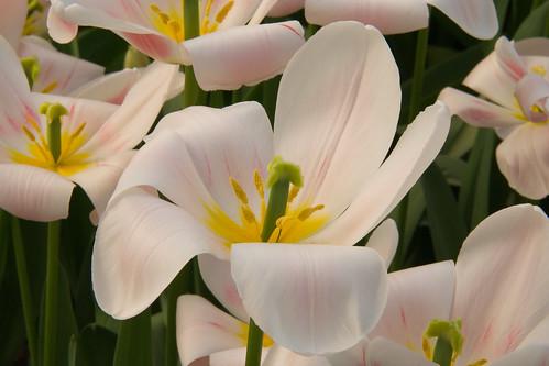 Tulipanes divinos
