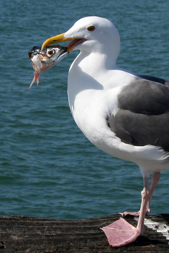 Newport Beach Seagull with Fish