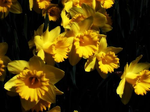 Daffodils II by Andy McFarlane