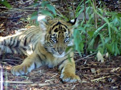 Tiger at the Melbourne Zoo