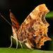 Comma butterfly sunbathing