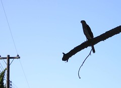 Hawk Silhouetted