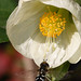 Hoverfly Scaeva pyrastri on final approach to Abutilon flower