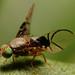 small fruit fly Anomoia purmunda  doing it's mating dance