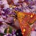 Small moth Pyrausta aurata feeding