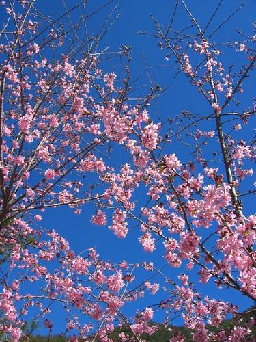 20060201_1235_武陵農場-櫻