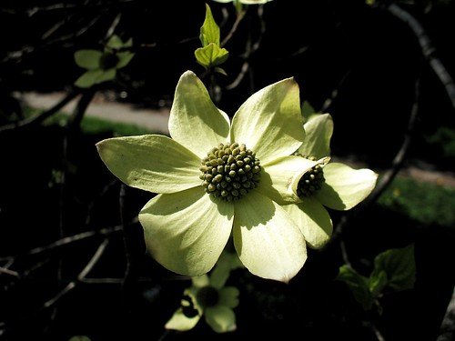 green dogwood 003