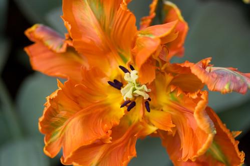 Tulipán naranja arrugado
