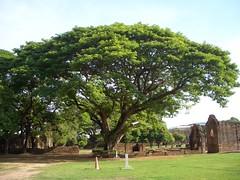 ต้นจามจุรี หน้าสิบสองท้องพระคลัง