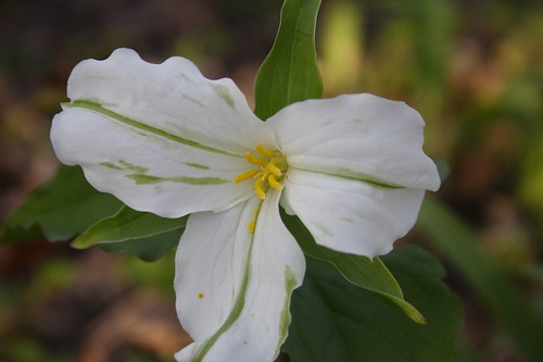 White Trillium with green variegation