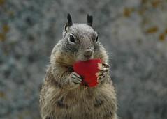 Squirrel at Bird Rock at 17-mile Drive