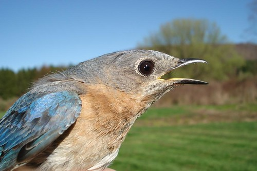 No so happy Female Bluebird