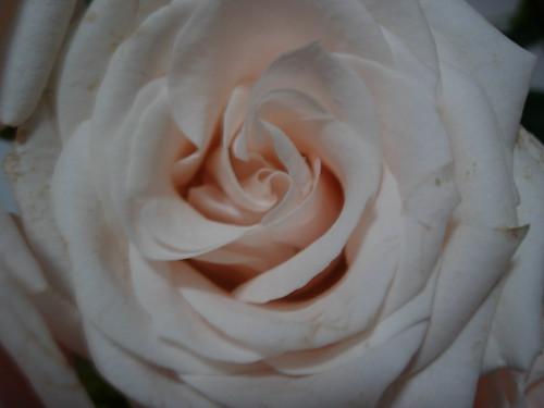 Lovely rose
