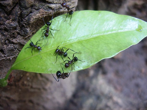 Ants on a leaf by Aarthi