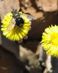 coltsfoot fly