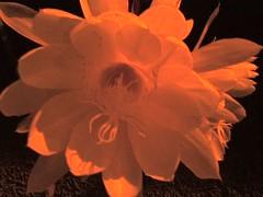 Flor de Luna 1