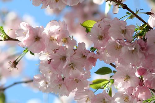 Körsbärsblommor i Kungsträdgården